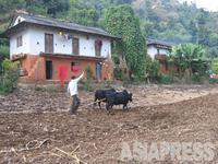【ガジュルコット村では、ちょうどトウモロコシを収穫し、小麦を植えるために牛を使って畑を耕す作業をしていた】