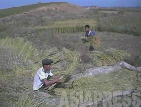 稲を収穫する親子と見られる農民。農民の子は農民以外の家に嫁ぐか、勉学やスポーツなど特別な技能が無い限り、農民になるしかない。2008年9月 黄海南道クァイル郡 撮影:沈義川(シム・ウィチョン)