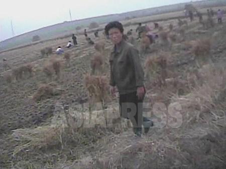 黄海南道の農村での収穫の様子。70年代の農民の暮らしは貧しいながらも、食べる物だけは豊富だった。それも90年代の「先軍時代」の到来と共に過去の話となった。2008年9月黄海南道 撮影:沈義川(シム・ウィチョン)