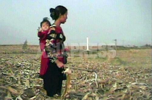 (参考写真)赤ん坊を背負った女性がトウモロコシ畑で落ちた実を拾っている。(2008年10月殷栗郡 シム・ウィチョン撮影)