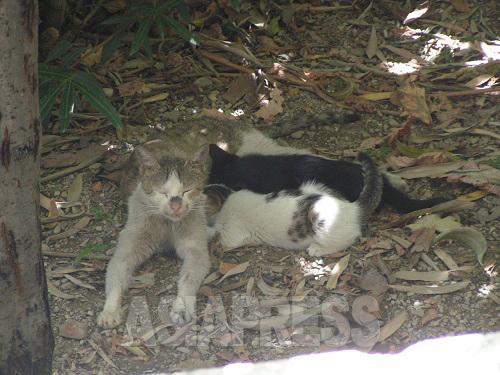 抗争終結後しばらくたって、庭を訪れるようになった別の猫。そのうち、子どもを連れてくるようになった。(撮影筆者)