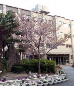 神戸連続児童殺傷事件から17年。被害女児、山下彩花ちゃん(当時10)を追悼する「彩花桜」が今春も満開で新入生を迎えた。(神戸市須磨区市立竜が台小学校 撮影・新聞うずみ火)