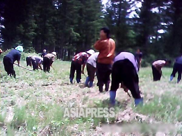農村に動員され草取りをさせられている女性たち。毎年春から全国的に田植えや草取りに動員される。2013年6月、撮影はチーム「ミンドゥルレ」(アジアプレス)