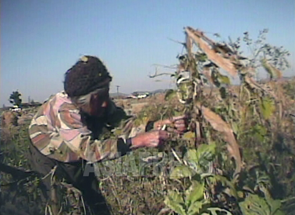 年老いた農民の女性が、収穫後の枯れたトウモロコシ畑で、取り残しを集めて回っている。2008年9月 黄海北道沙里院(サリウォン)市近郊の農村。沈義川(シム・ウィチョン)撮影