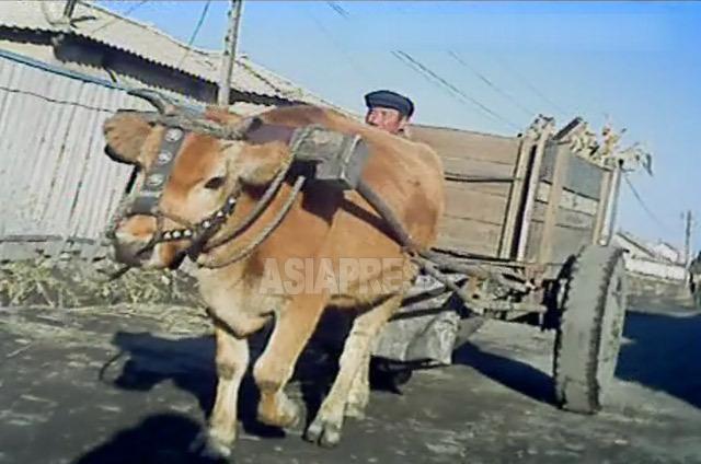 <北朝鮮写真報告>牛はもっとも大切な生き物 尻尾切って食し処刑された事例も(写真4枚)