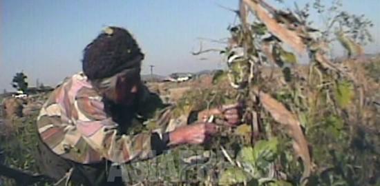 (참고사진)늙은 농민 여성이, 수확 후 마른 옥수수 밭에서 남은 것을 모으고 있다. 2008년 9월 황해북도 사리원시 근교 농촌. 심의천 촬영 (아시아프레스)
