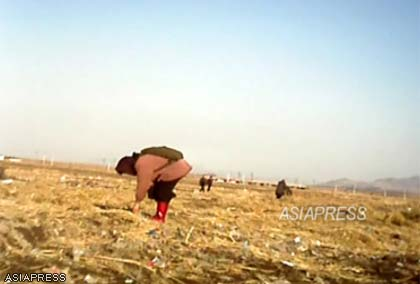 (Reference photo) Elderly woman gleaning a post-harvest field. This is a familiar sight in North Korea in autumn. This photograph was taken in November 2012 in the suburbs of Sinuiju in the North Pyongan Province by an ASIAPRESS reporting partner. (C)ASIAPRESS