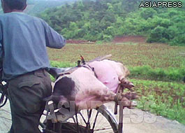 """A pig tied to the back of a bicycle. This man appeared to be taking the pig to the city to sell and earn some money. This kind of trading business is called """"Taegori"""" in North Korea.(2010. South Pyongan Province. Taken by Kim Dong-cheol.)ASIAPRESS"""